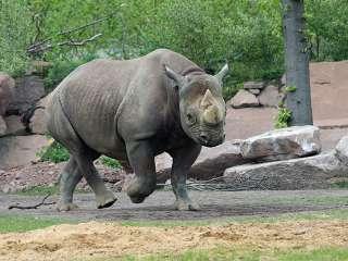 Nashorn Maleika