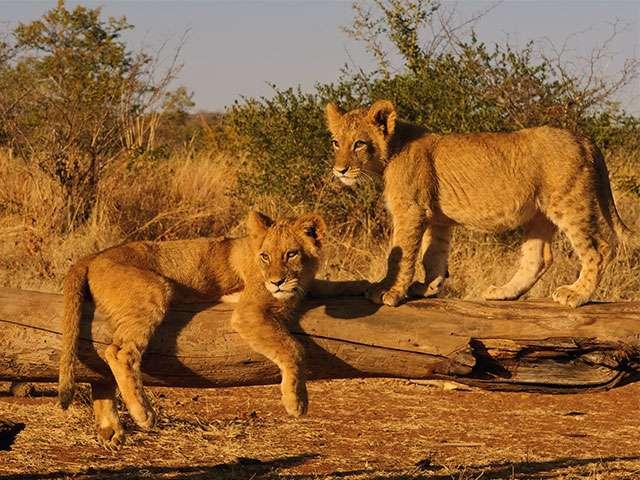 Africa Impressions Löwen