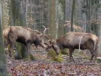 Duell der Hirsche