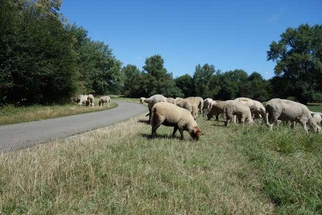 Schafe am Elberadweg