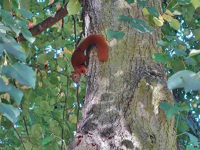 Eichhörnchein im Stadtpark