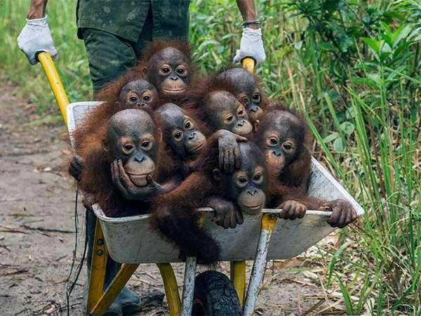 ©-Tim-Laman---Tough-Times-for-Orangutans-03.jpg