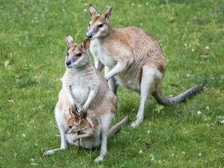 Flinkes Känguru im Zoo Magdeburg