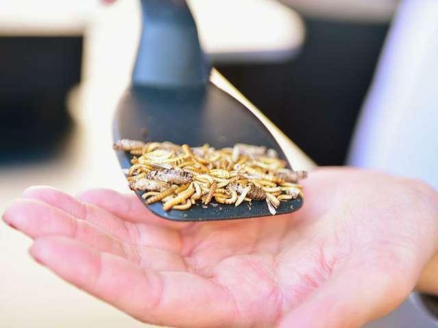 Mehlwürmer sind für viele eine Delikatesse