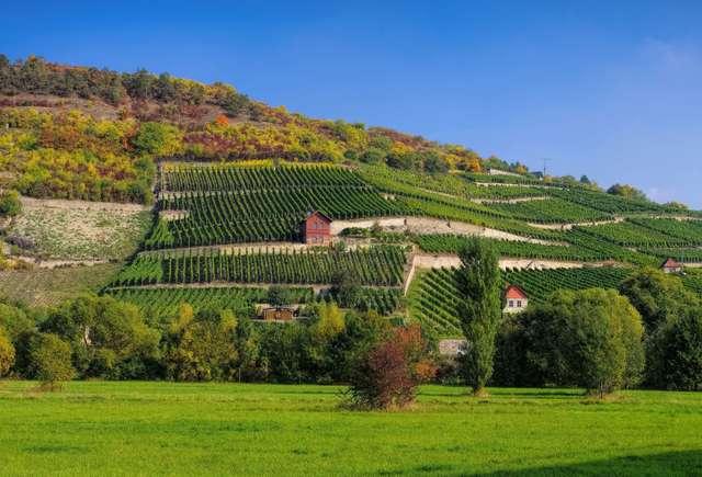 Weinberg im Saale-Unstrut-Gebiet