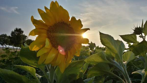 Sonnenblume-Foto-by-Sandy-Zöllner.jpg
