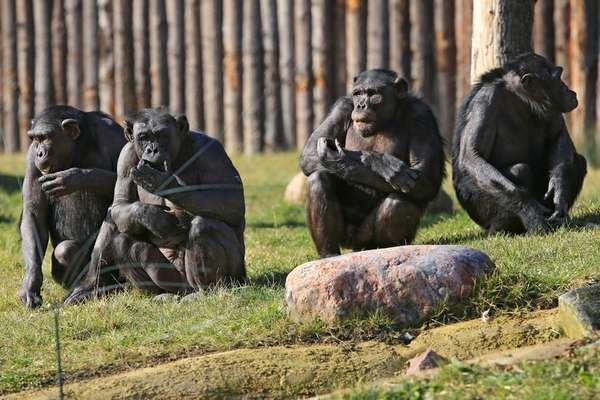 18_06_22_schimpansenanlage_viktoria_kuehne_1024.jpg