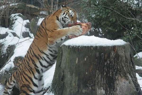 18-01-30-tigerfuetterung.jpg