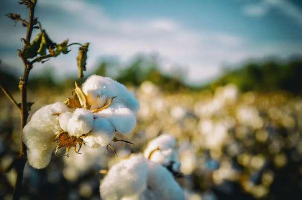 cotton-2807360_1280.jpg