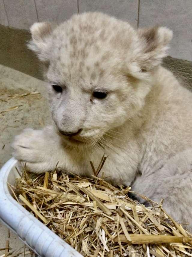 Nachwuchs bei den weißen Löwen im Zoo Magdeburg